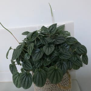 Moonlight Peperomia plant photo by Nikravens1 named Peperomia Caperata 'moonlight' on Greg, the plant care app.