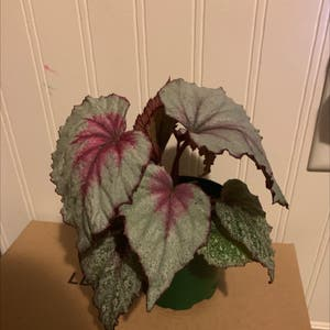 Rex Begonia plant photo by Kennedy named Winston on Greg, the plant care app.