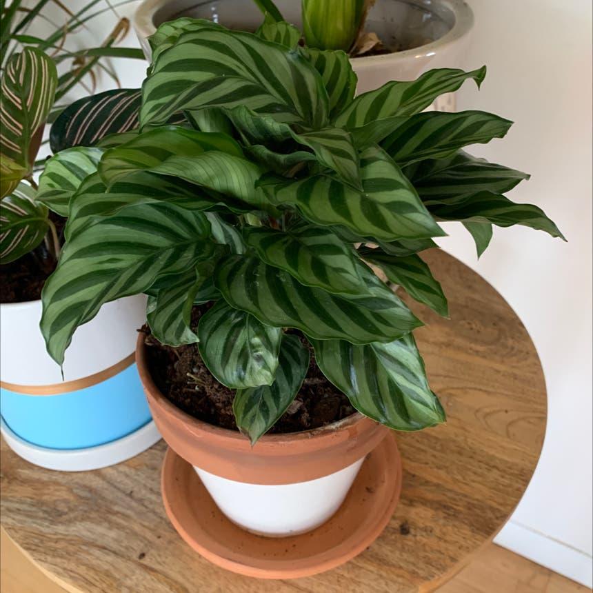 Calathea 'Freddie' plant