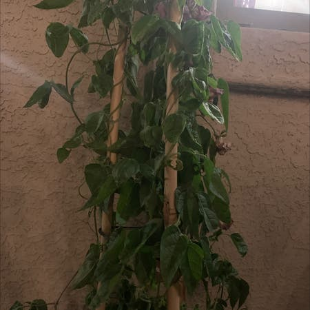 Photo of the plant species Snail Vine by Kodiakgrows named Orlando Bloom on Greg, the plant care app