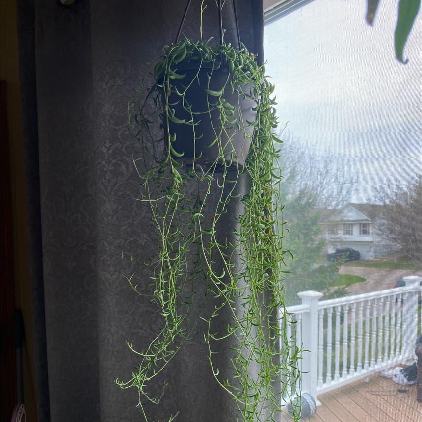 String of Bananas plant