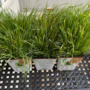 Wheatgrass plant photo by Readysetmo named Catgrass x3 on Greg, the plant care app.