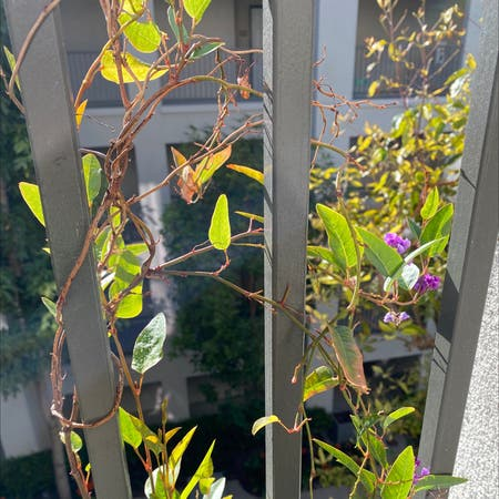 Photo of the plant species Vine Lilac by Brooklyn named Sonora on Greg, the plant care app
