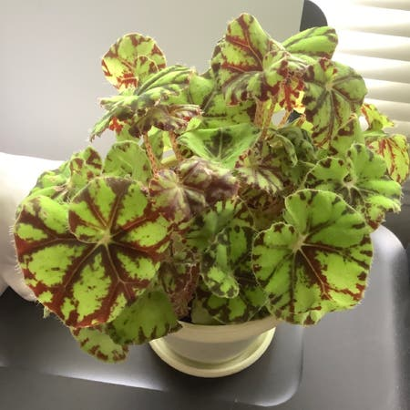Photo of the plant species Eyelash Begonia by Finlayquinn83 named Discover on Greg, the plant care app