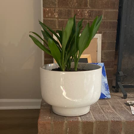 Photo of the plant species Green Ti Plant by Katie named Jackie on Greg, the plant care app