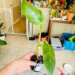 Philodendron subhastatum plant