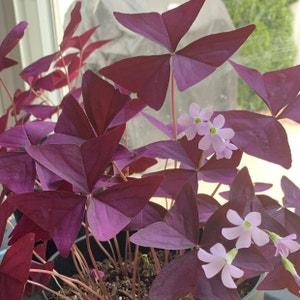 Purple Shamrocks plant photo by Jmeadkins named Faeshire blooms on Greg, the plant care app.