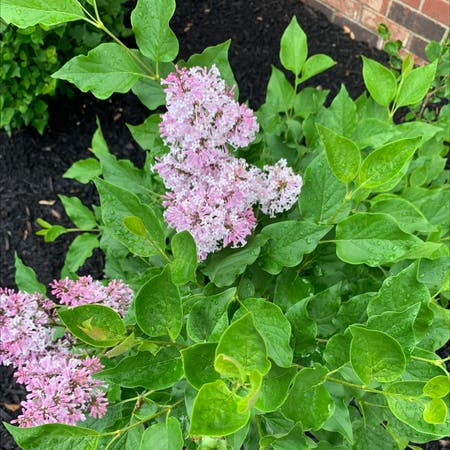 Photo of the plant species Syringa pubescens by Jmeadkins named Your plant on Greg, the plant care app
