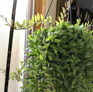 Lipstick Vine plant photo by Jewels108 named Mona Lisa Happiest Girl on Greg, the plant care app.