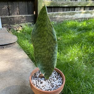 Whale Fin Snake Plant plant photo by Rjg named Beluga on Greg, the plant care app.