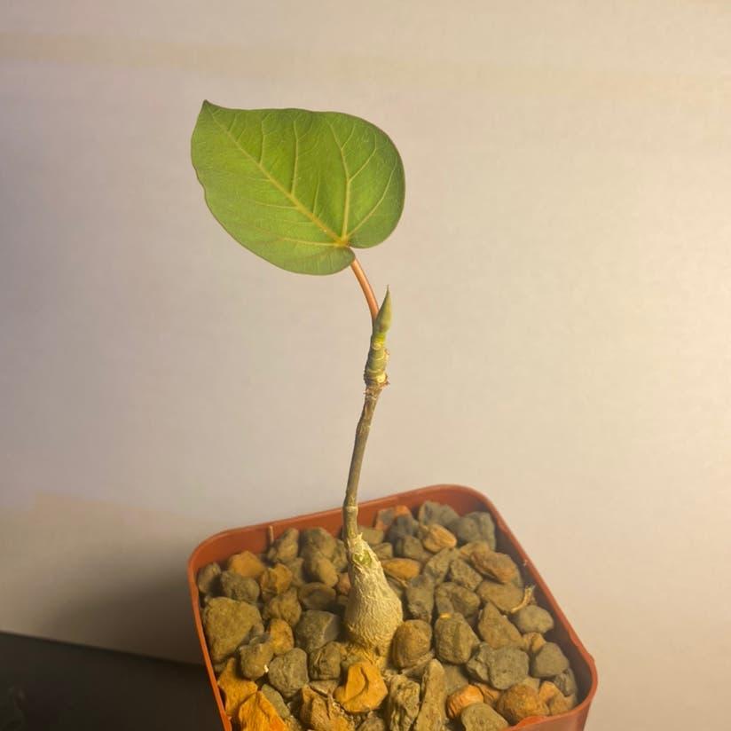 Petiolate fig plant
