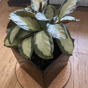 Calathea picturata 'Argentea' plant photo by Rjg named Solo Dolo on Greg, the plant care app.