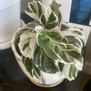 Calathea 'White Fusion' plant photo by Rjg named Gaga on Greg, the plant care app.