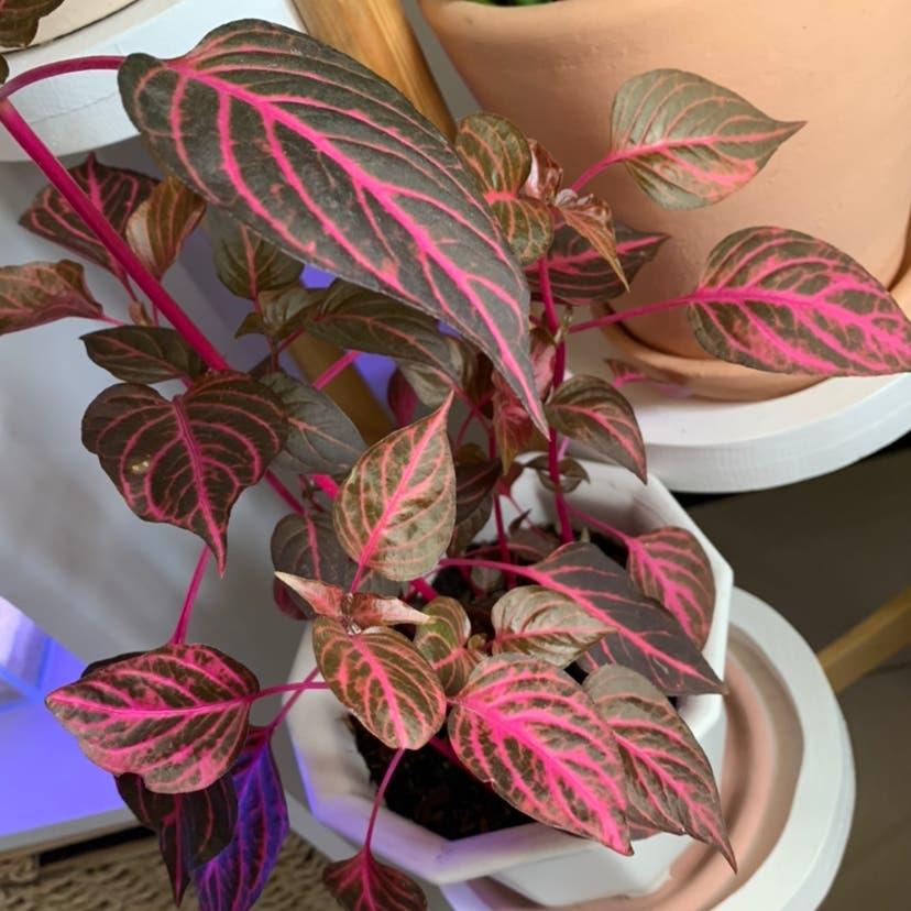 Bloodleaf plant