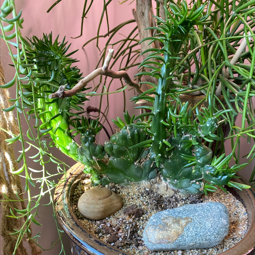 Eve's Needle Cactus plant in Somewhere on Earth