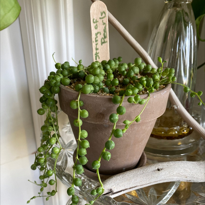String of Pearls plant in Somewhere on Earth