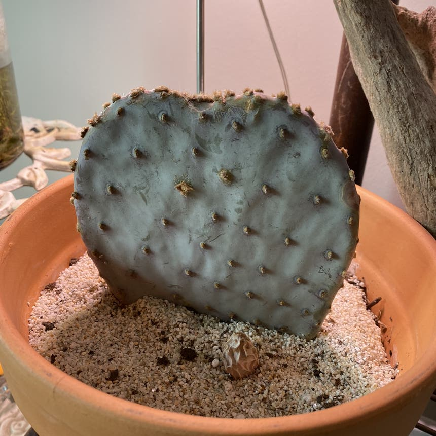 Prickly Pear Cactus plant in Somewhere on Earth