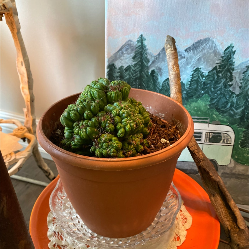 Cereus Cactus plant in Somewhere on Earth