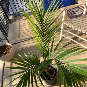 Majesty Palm plant photo by Cierracarty named Emerson on Greg, the plant care app.