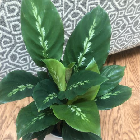 Photo of the plant species Calathea louisae by Melissa named Robin Hood on Greg, the plant care app