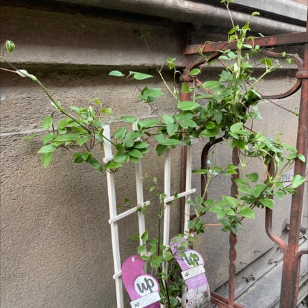 Photo of the plant species Clematis samaritan 'Jo' by Jeanice named Purple flower on Greg, the plant care app
