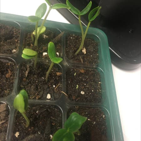 Photo of the plant species Cucumber by Seiranicole named Cucumber on Greg, the plant care app