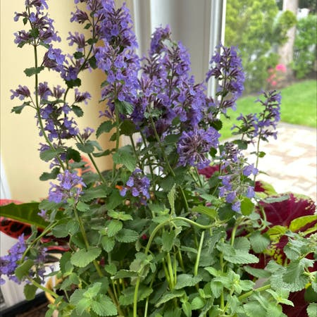 Photo of the plant species Nepeta Racemosa by Anjana named Madonna on Greg, the plant care app