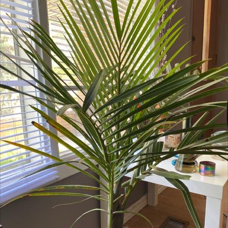 Photo of the plant species Palmiste Marron by Kaelyn named Palmela on Greg, the plant care app
