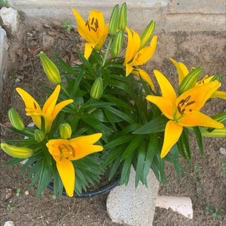 Photo of the plant species Mountain Lily by Acoustophoresis named Asiatic Lilly on Greg, the plant care app