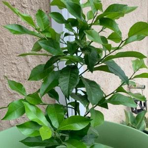 Lemon plant photo by Rebeccurrrr named Lemonsito on Greg, the plant care app.