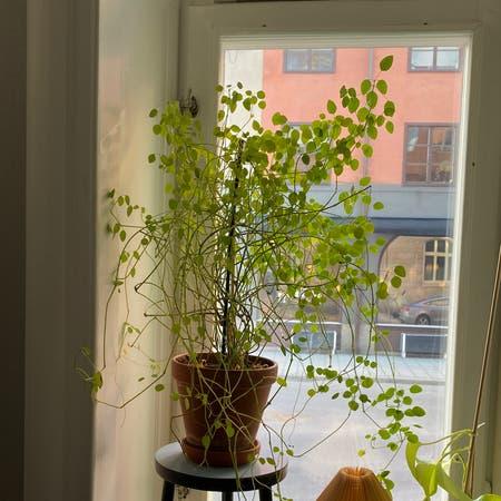 Photo of the plant species Euphorbia Glitz by Eyewoo named Pengabusken (Euphorbia Graminea) on Greg, the plant care app