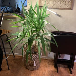 Rating of the plant Blue-Stem Yucca named Coco by Dyslixec on Greg, the plant care app