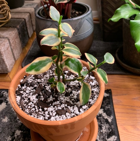 Photo of the plant species Variegated Trailing Jade Plant by Dyslixec named Apollo on Greg, the plant care app