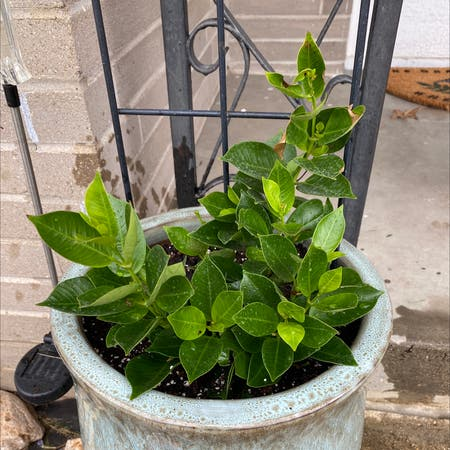 Photo of the plant species Mandevilla boliviensis by Lexyd45 named Mandovilka on Greg, the plant care app
