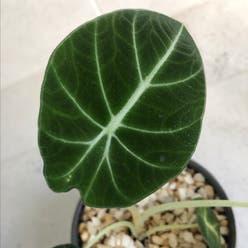 Black Velvet Alocasia plant