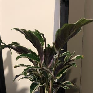 Calathea 'White Fusion' plant photo by Jess named Your plant on Greg, the plant care app.
