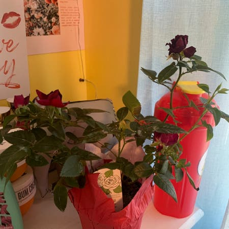 Photo of the plant species Hybrid Tea Rose by Sarah_018 named Diana on Greg, the plant care app