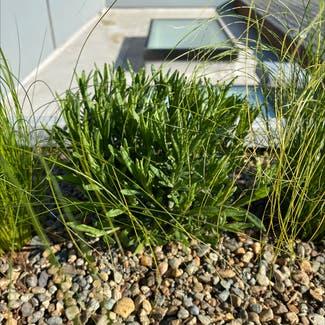 English Lavender plant in Seattle, Washington