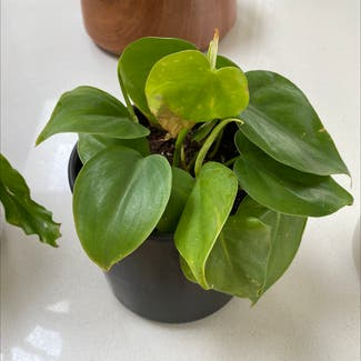 Heartleaf philodendron plant in Seattle, Washington