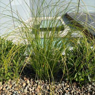 Mexican feather grass plant in Seattle, Washington