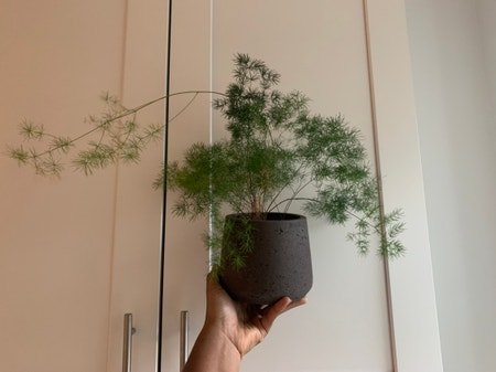 Photo of the plant species Ming Fern by Nneka named mimi on Greg, the plant care app