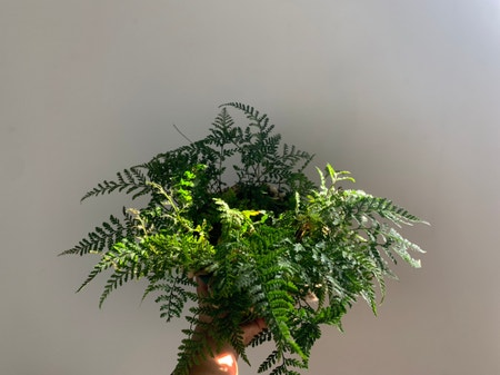 Photo of the plant species Davallia Trichomanoides by Nneka named lola on Greg, the plant care app