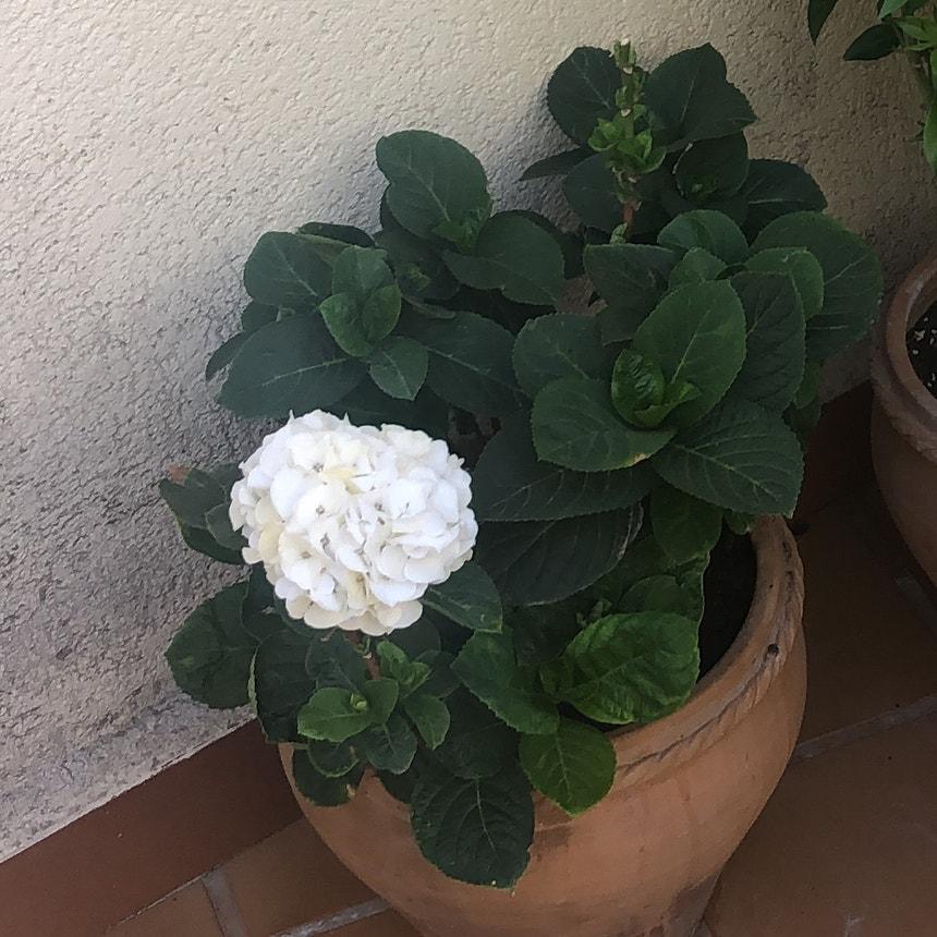 French Hydrangea plant in Torremolinos, Andalucía