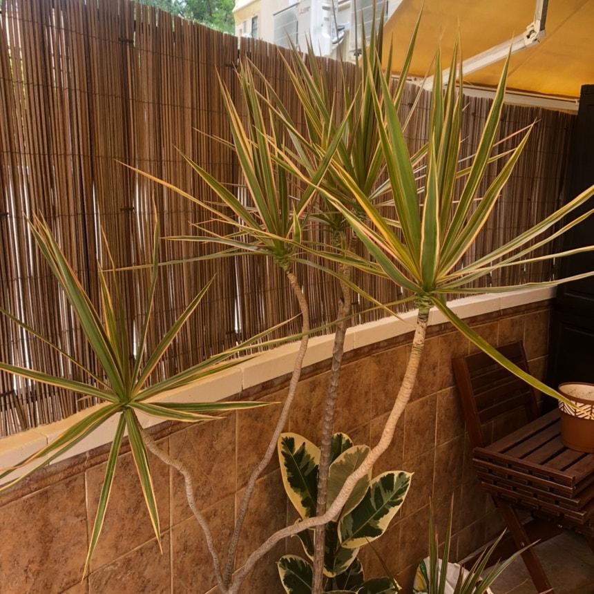 Dragon tree plant in Torremolinos, Andalucía