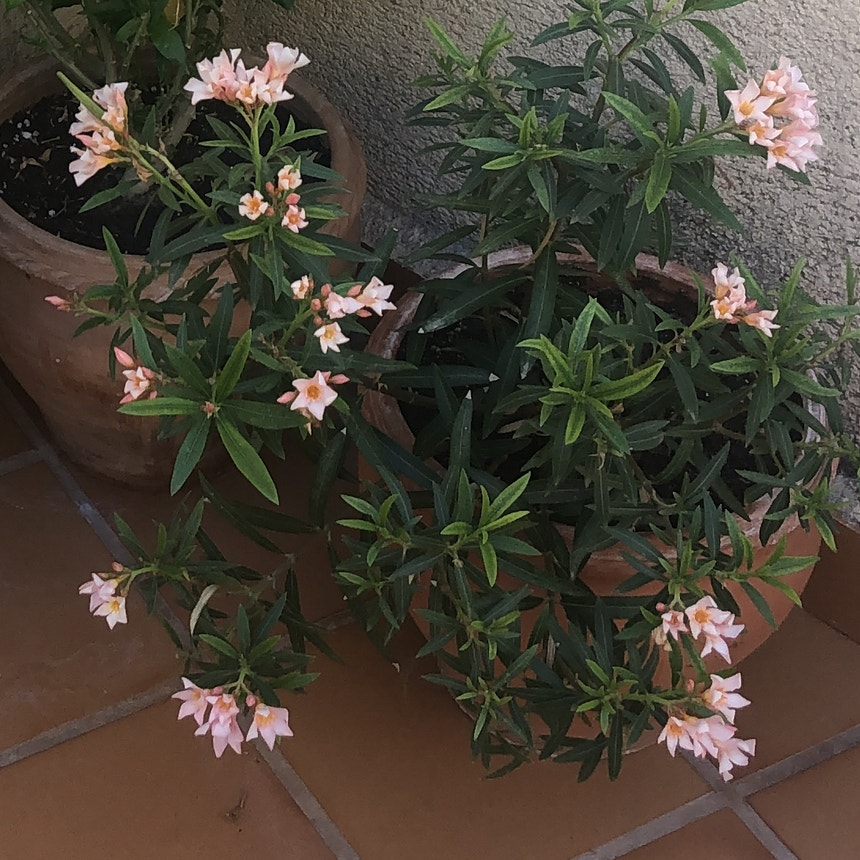 Oleander plant in Torremolinos, Andalucía