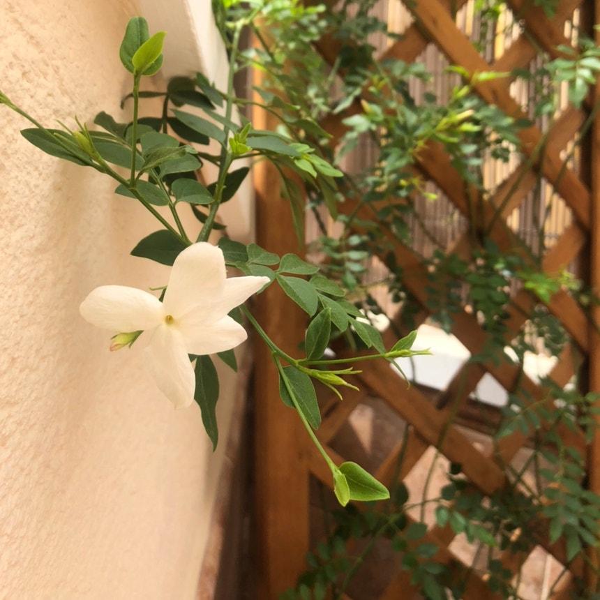White jasmine plant in Torremolinos, Andalucía