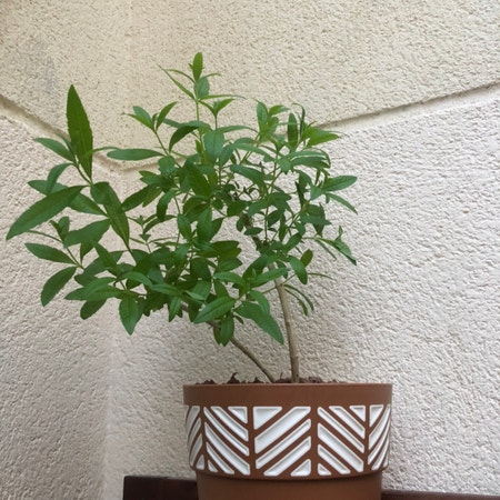 Photo of the plant species Aloysia citrodora by Muai2805 named Your plant on Greg, the plant care app