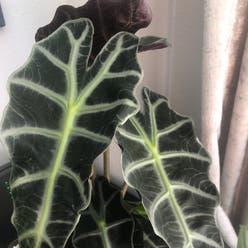 Alocasia Amazonica plant