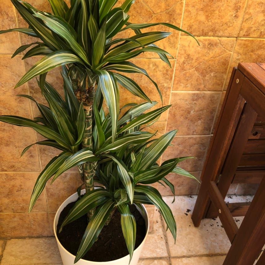 Cornstalk Dracaena plant in Torremolinos, Andalucía