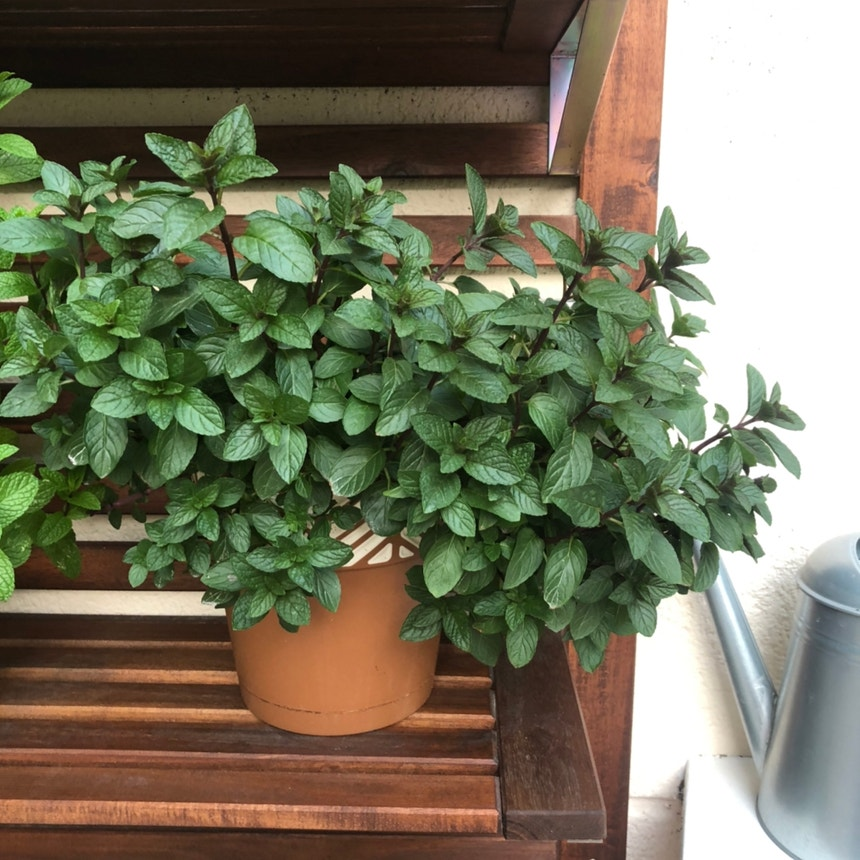 Chocolate Mint plant in Torremolinos, Andalucía
